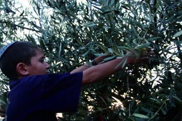 בורא פרי העץ, כרם קרסנטי שמן זית, עפרה