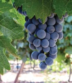 Благословен сотворивший плод гурмэ,  винодельня «Ѓар-Браха» («Гора Благословения»), винодельня, центр посетителей и ресторан, Ѓар-Браха